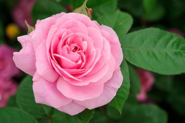 rosa-gertrude-jekyll-2