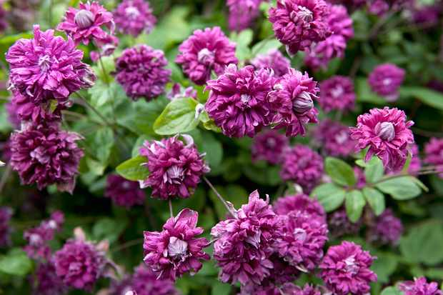 Best Clematis viticella to grow