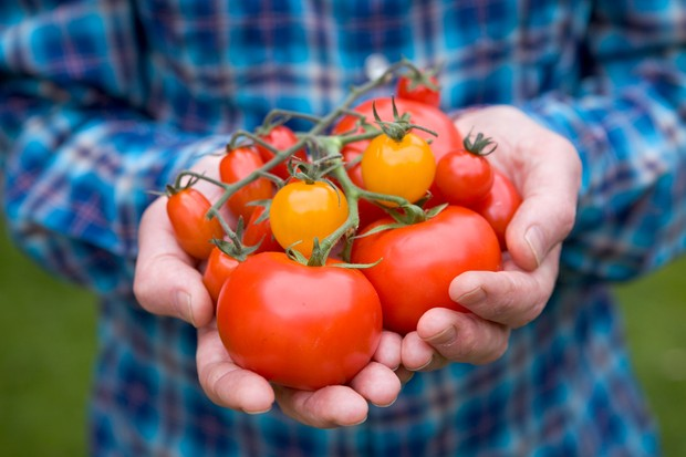 handful-of-tomatoes-2