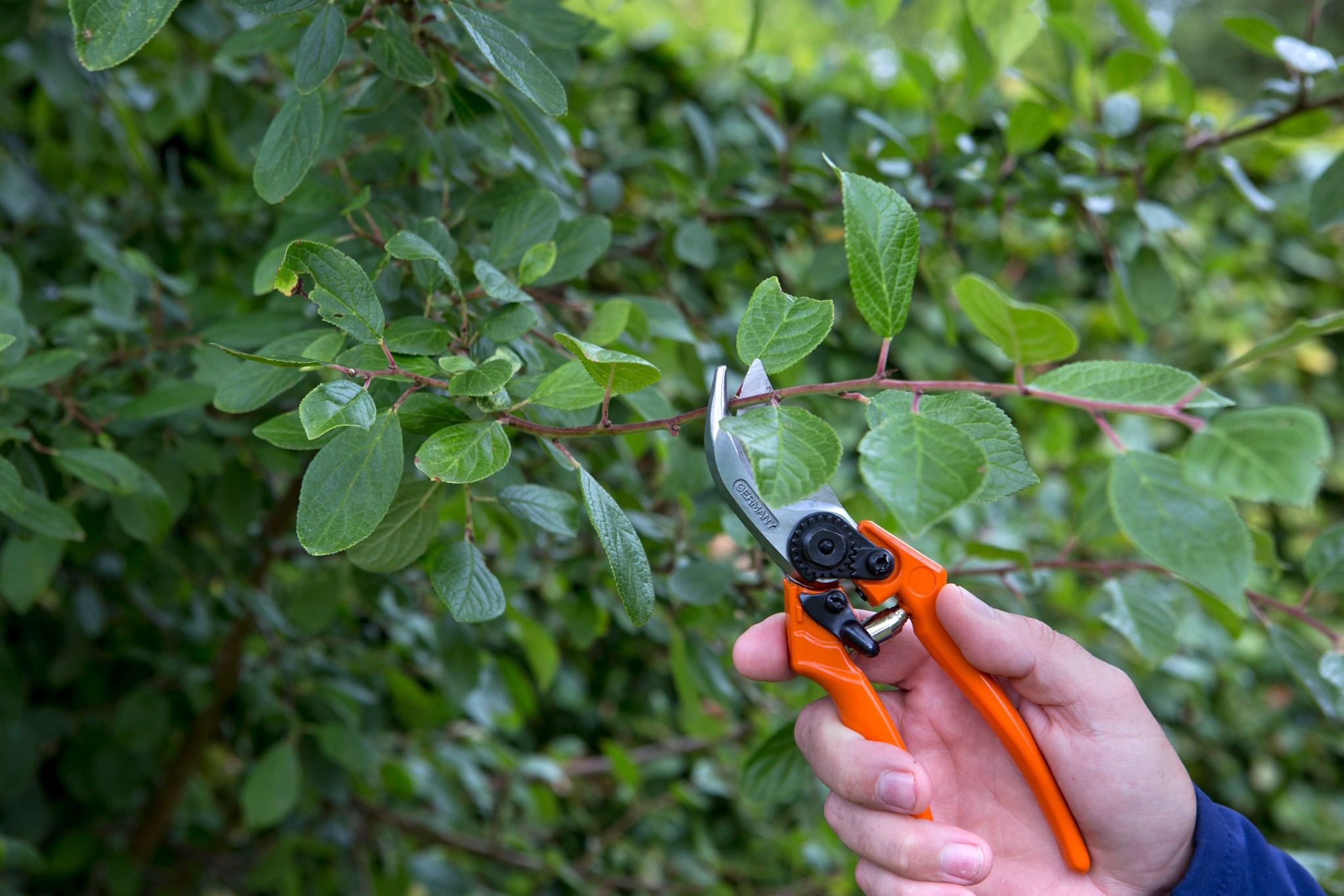 Pruning a plum tree in summer