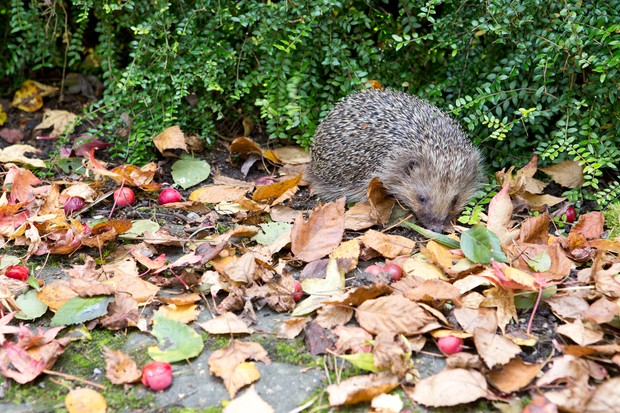 hedgehog-near-a-hedge-2
