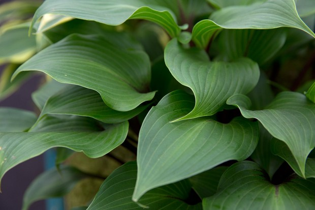 Hosta 'One Man's Treasure': broad, yet pointed, lush green leaves on red stems