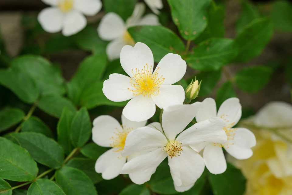Small, creamy-white flowers of Rosa filipes 'Kiftsgate'