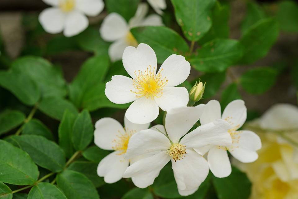 10 Best Rambling Roses To Grow Bbc Gardeners World Magazine