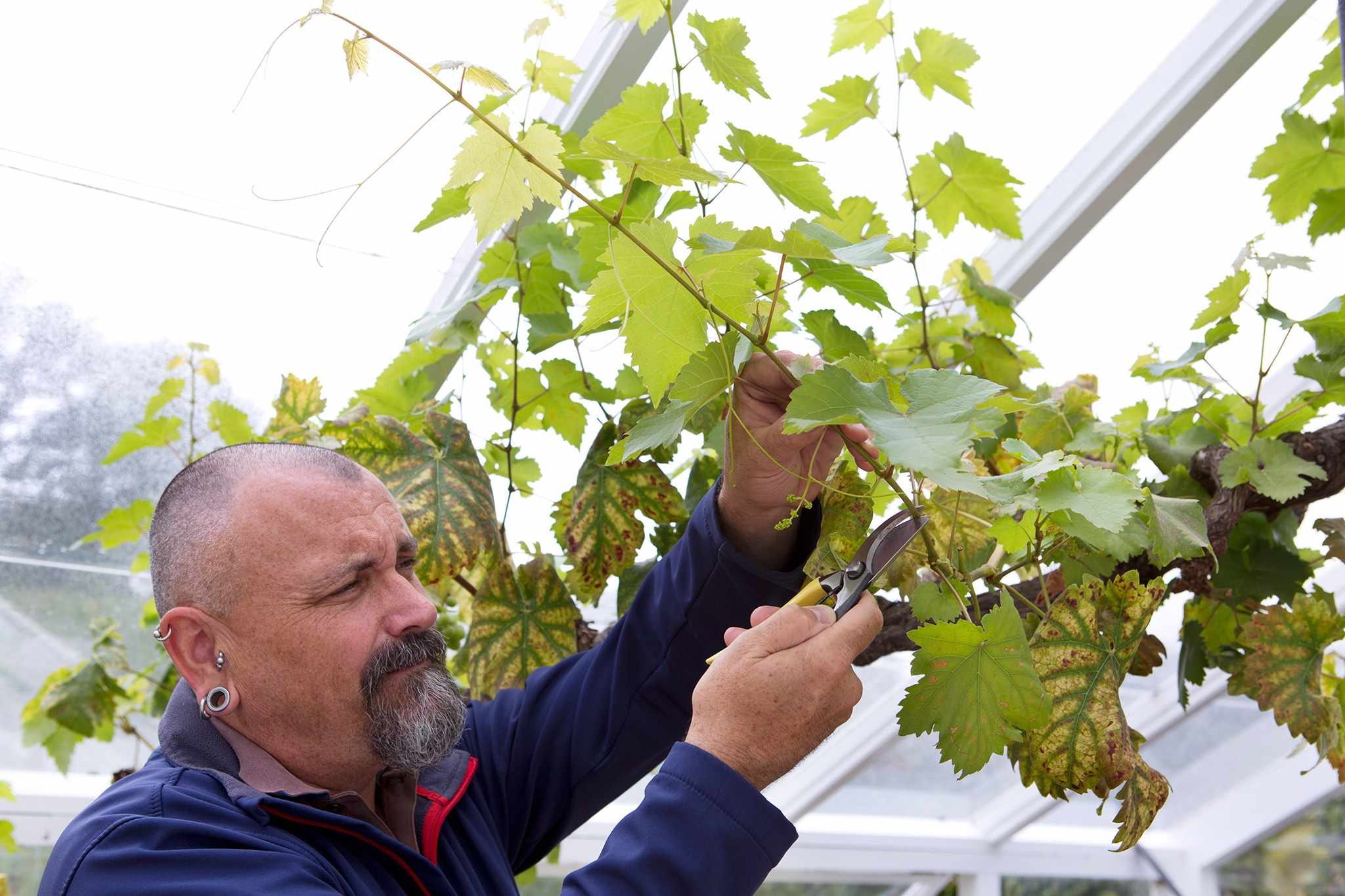 Pruning a grapevine