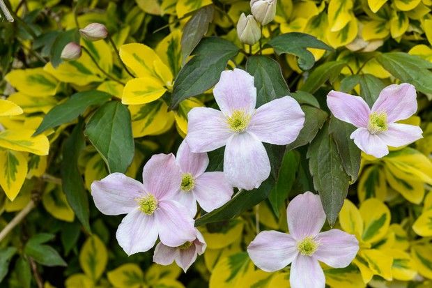 clematis-montana-and-euonymus-fortunei-emerald-n-gold-2