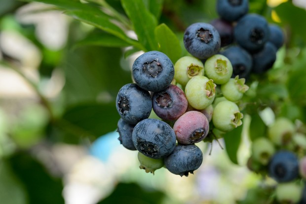 Ripe and unripe blueberries on a bush