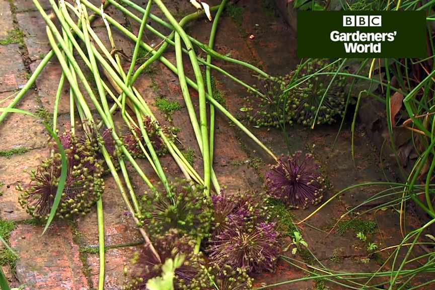 How to dig up and move alliums video