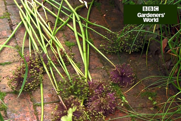 How to dig up and move alliums