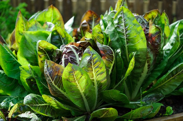 chicory-ready-to-harvest-2