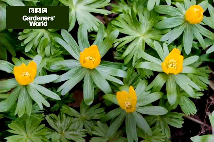How to grow winter aconites from tubers video
