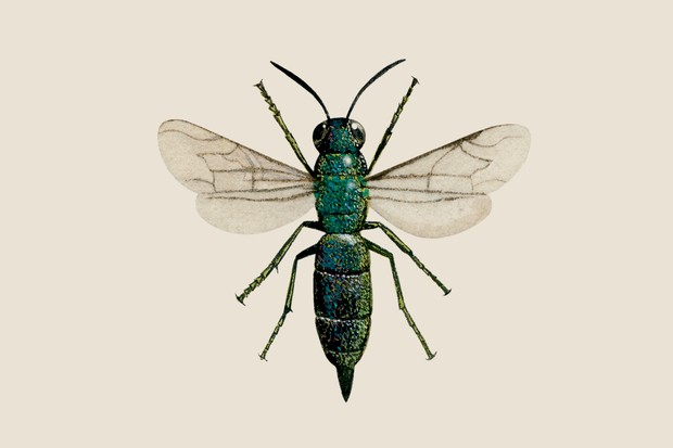 Illustration of the green ruby-tailed wasp