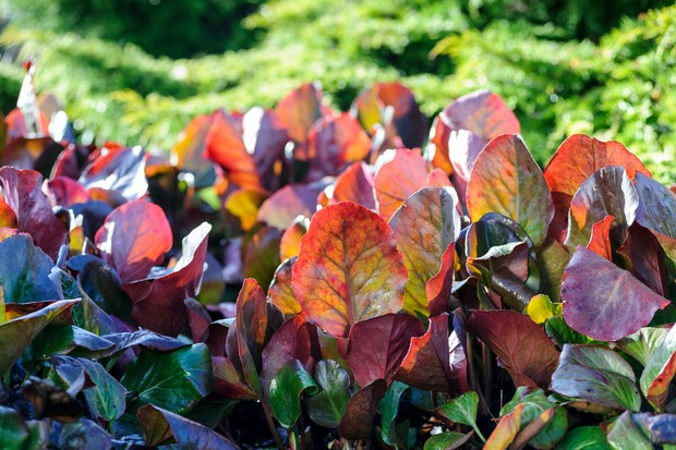 Red and green bergenia foliage