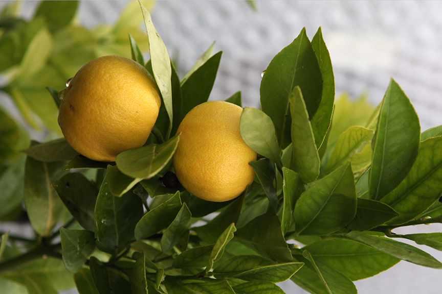 Why does my lemon tree look sick?