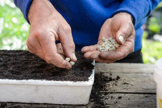 sowing-peas-4