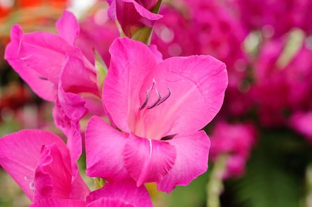 Bright-pink gladioli 'Kashmir'