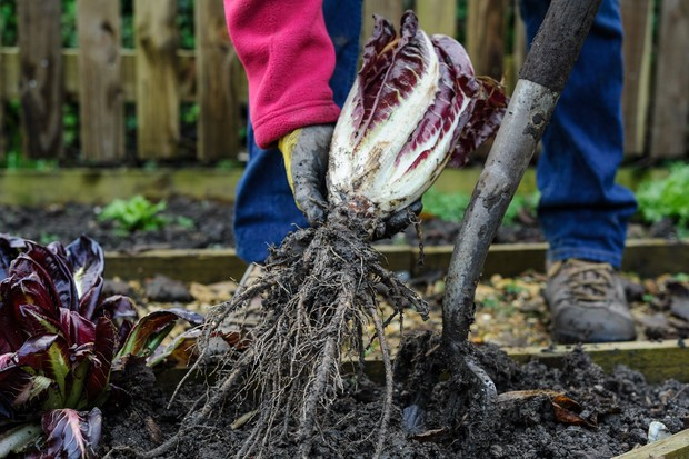 pulling-up-chicory-plants-2