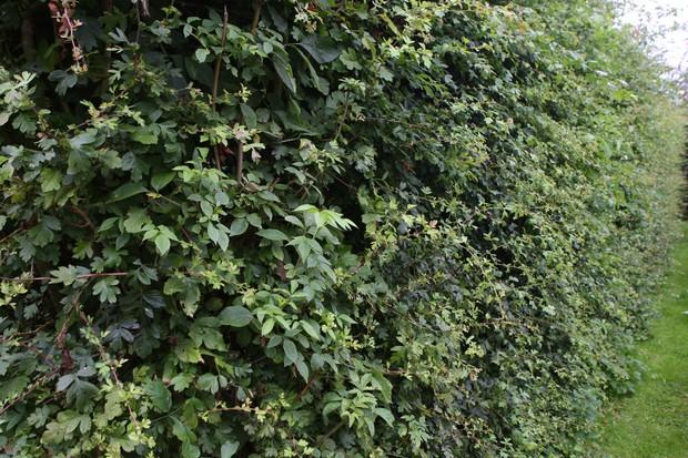 hawthorn-and-elder-wildlife-hedge-3