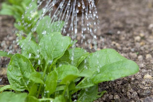 Watering spinach seedlings