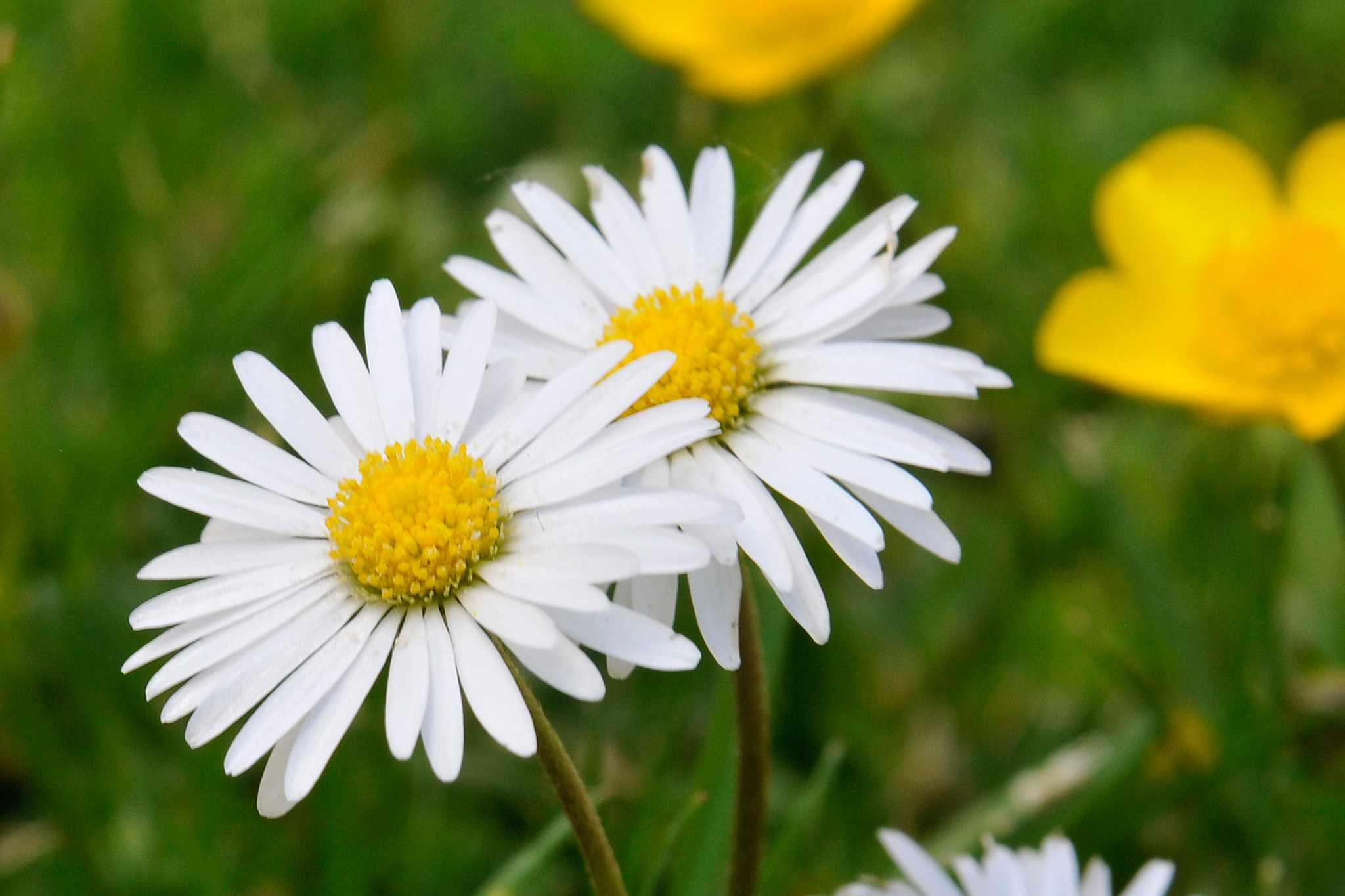Two white and yellow flowers of the common daisy