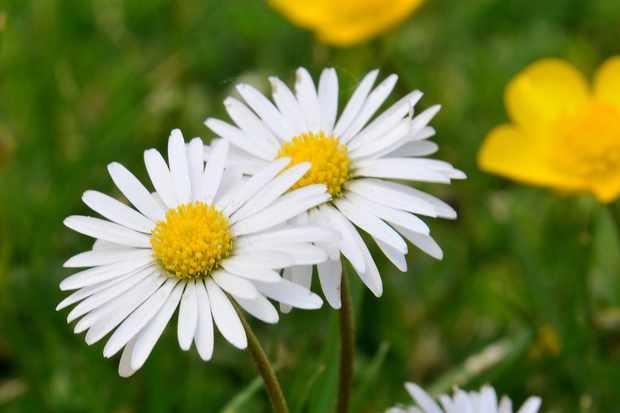 Plant families - Asteraceae