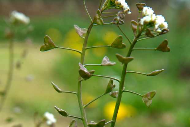 Shepherd's purse weed flowers and seed-pods