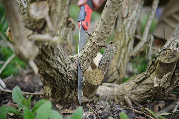 cutting-thick-stems-with-a-pruning-saw-2