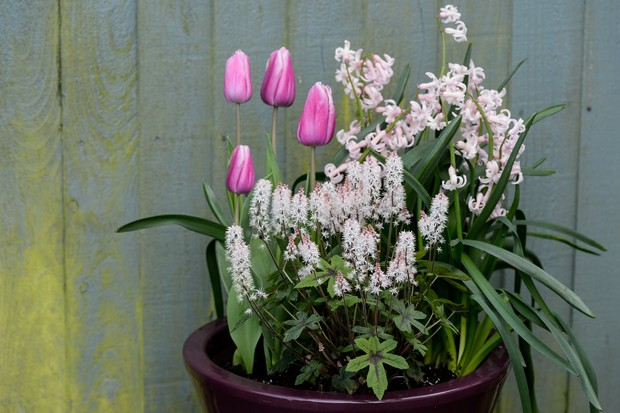 tulips-growing-with-tiarella