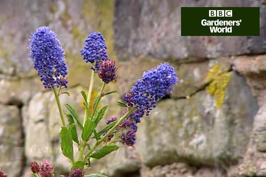 How to plant ceanothus video