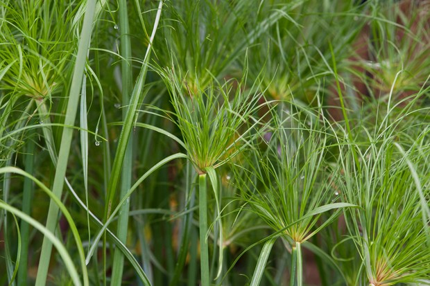 cyperus-papyrus