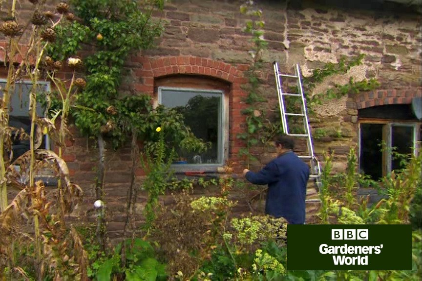 How to train a climbing rose on a wall video