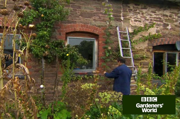 How to tie in a climbing rose to a wall