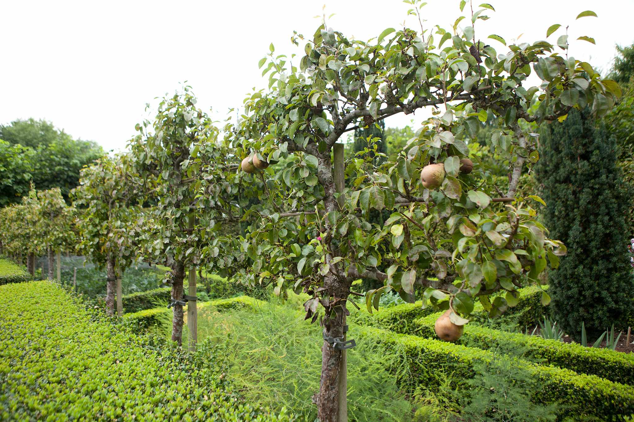 Espalier fruit trees used as a divider
