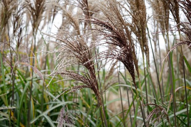 ornamental-grasses-4