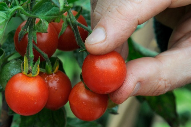 Ripe cherry tomatoes, ready to pick