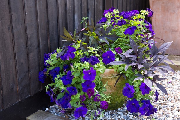 Purple foliage and purple flowers planted together in a container