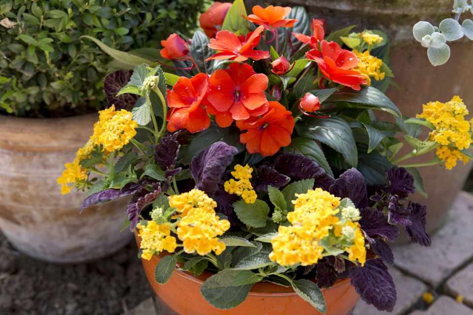 Lantana, coleus and impatiens pot display