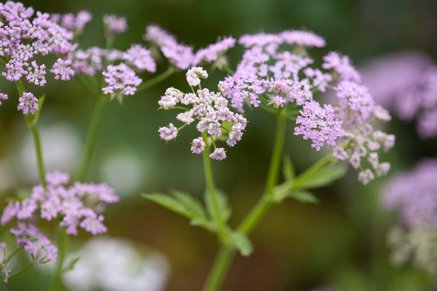 Pale pink flowers of hairy chervil