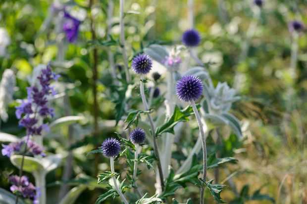 echinosp-ritro-veitchs-blue-2