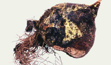 A tulip bulb completely rotted by a tulip virus