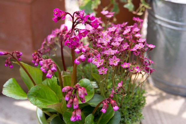 bergenia-and-saxifrage-2