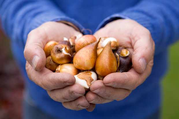 Handfuls of bulbs