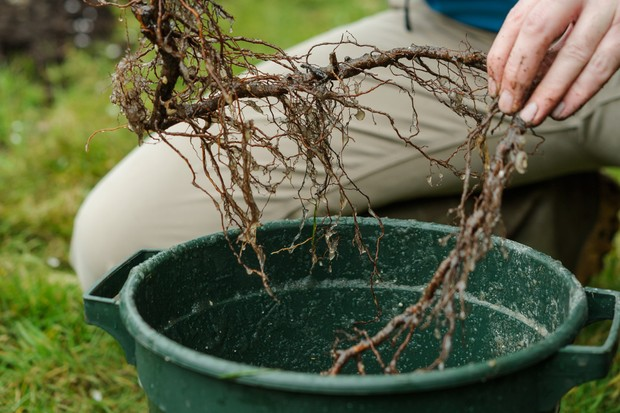 Planting long-cane raspberries - dipping the roots in mycorrhizal fungi