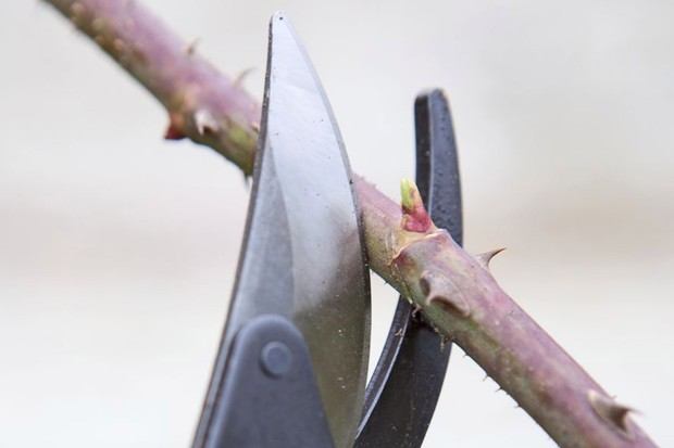 How to winter-prune trees and shrubs - cutting just above a bud