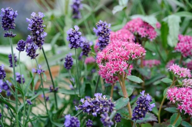 lavender-and-sedum-2