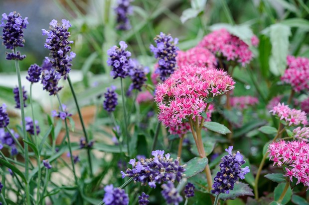 Purple lavender with pink sedum flowers