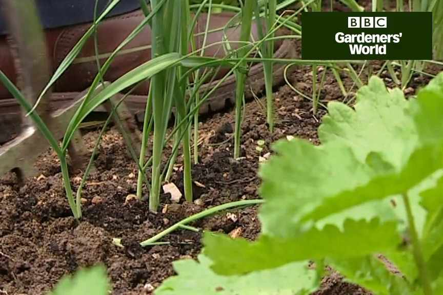 How to plant out leeks
