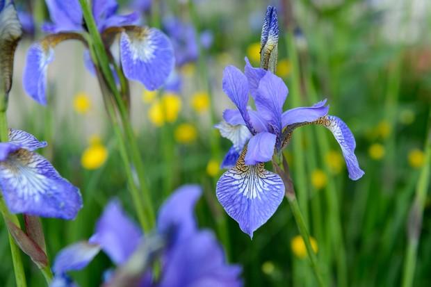 iris-sibirica-tropic-night-2