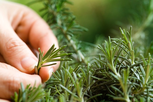Holding a rosemary shoot between fingertips