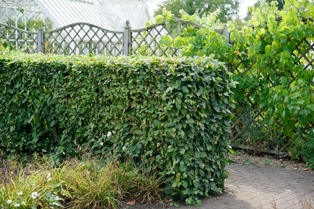 A hornbeam hedge